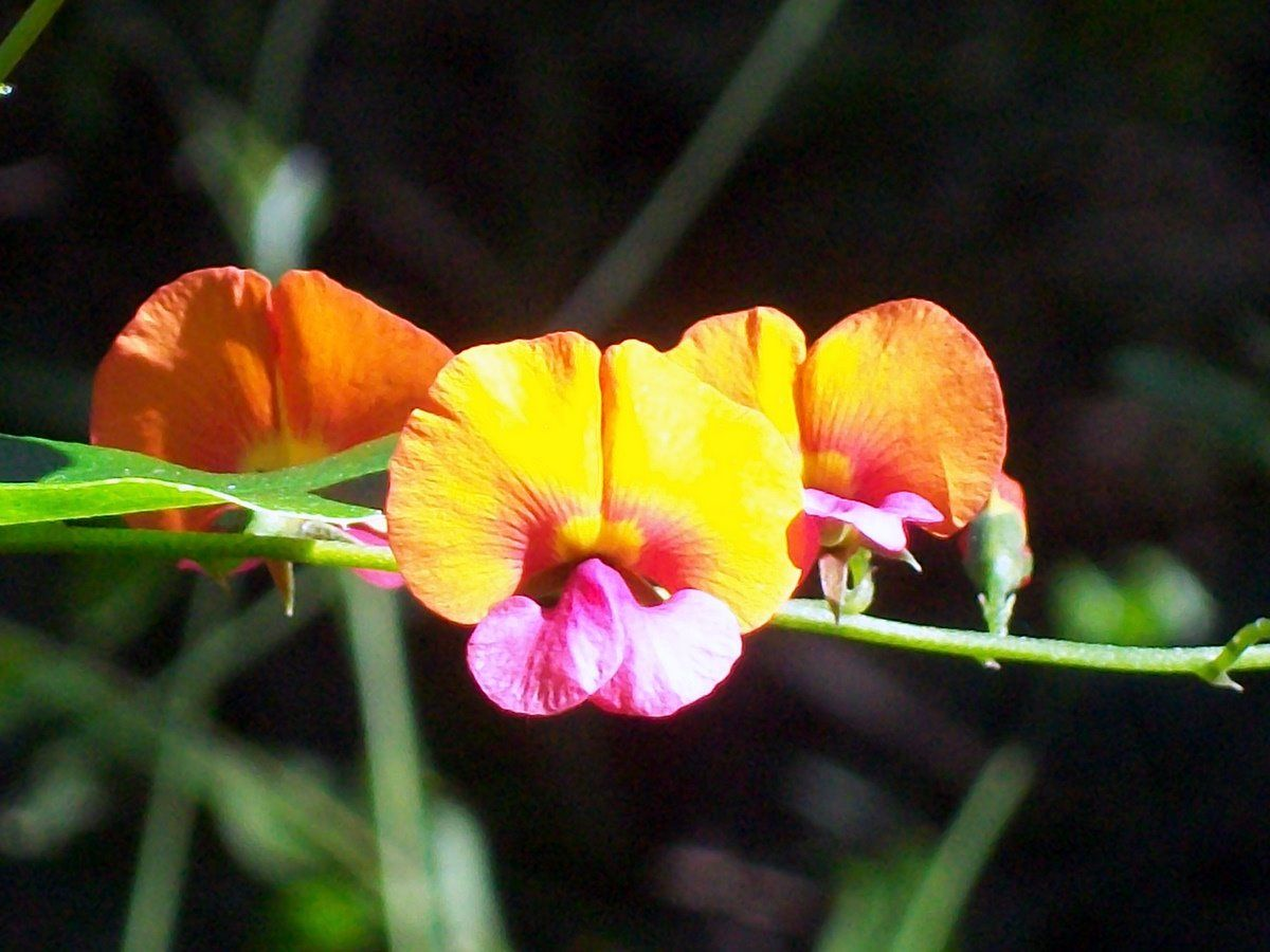 Chorizema cordatum Wikipedia Flame pea dry shade