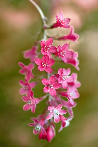 currant (Ribes) is a California native plant that drought tolerant perfect under oaks and beautiful.