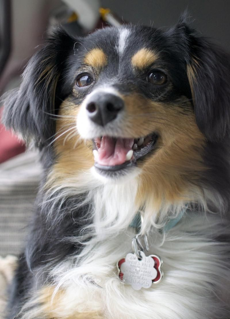 Adopt Sassy on Australian shepherd dogs, Happy dogs