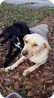 Pictures of Calliope & Arizona a Labrador Retriever Mix for adoption in New York, NY who needs a loving home.