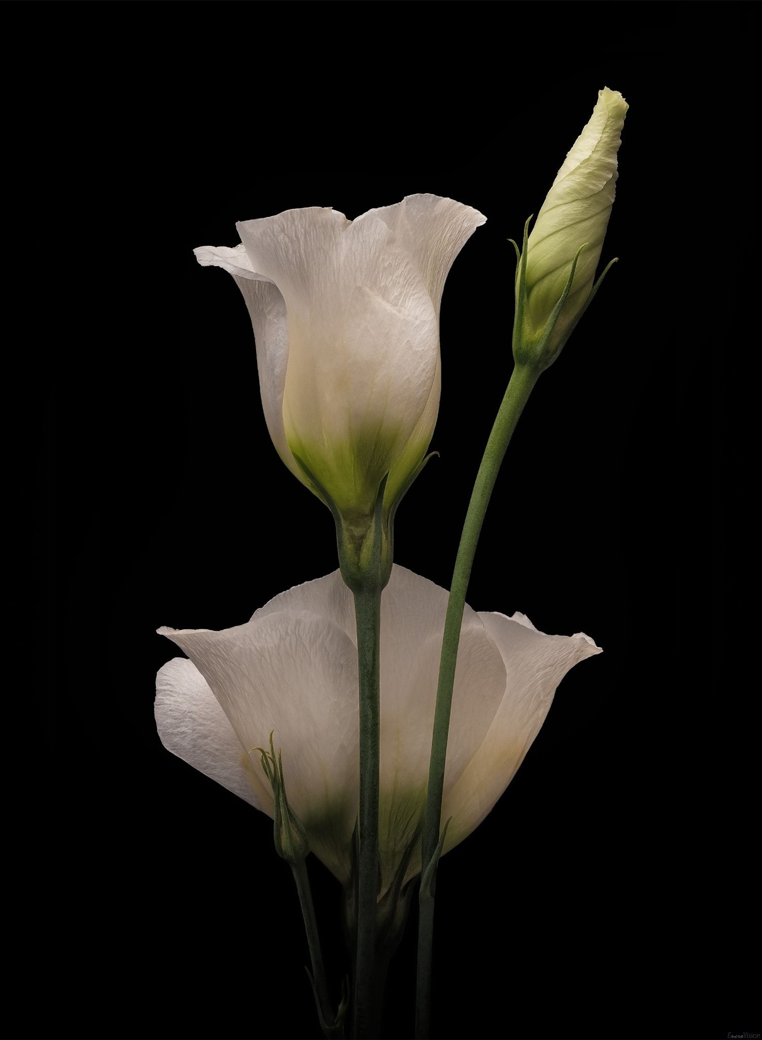 White Lisianthus On Black By Encrovision On 500px I Should Paint