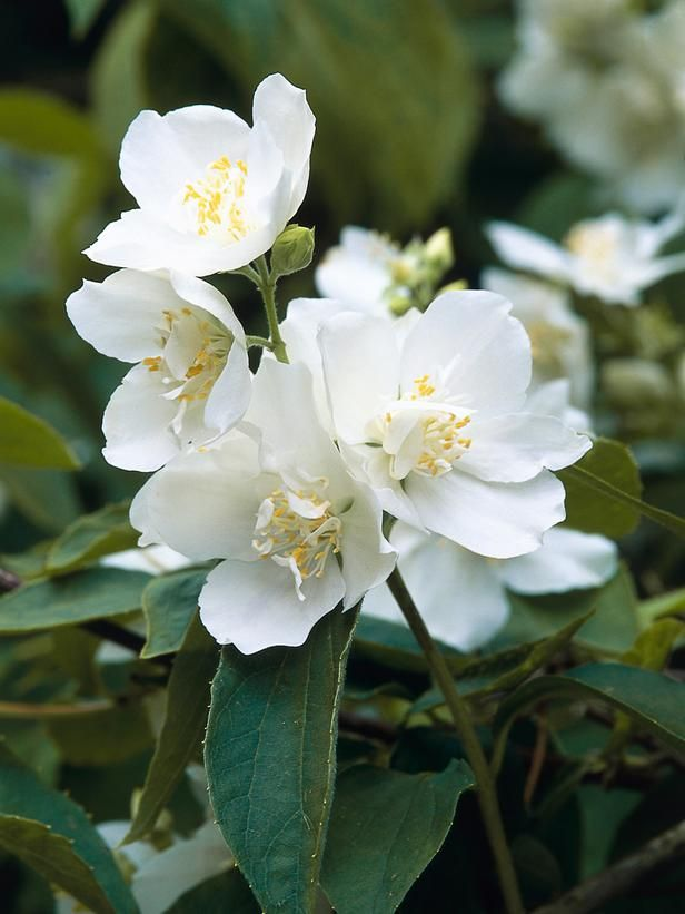 Mockorange (Philadelphus) 'Burfordensis' - A Gallery of Fragrant Plants on HGTV