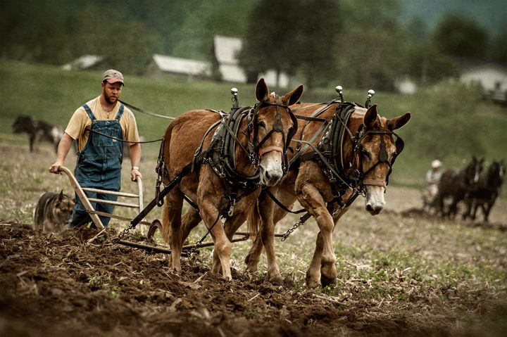 Image result for farmer plowing mule