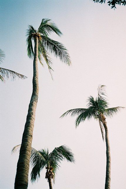 palm trees tumblr vertical. Palm Trees Everywhere! Tumblr Vertical D