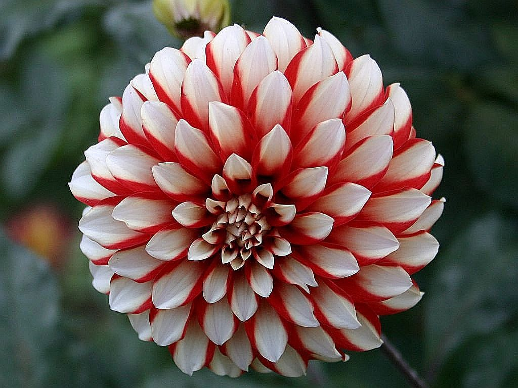 for Flowers that look like dahlias
