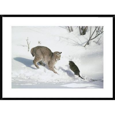 Global Gallery Bobcat Hunting Muskrat In The Winter Idaho By