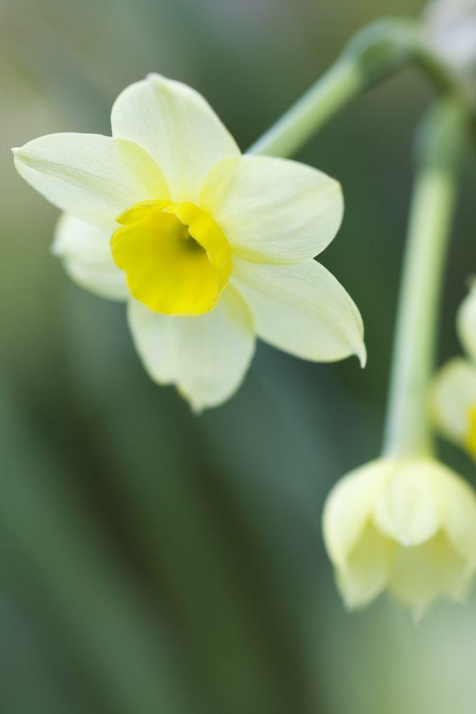 Narcissus Minnow Gardenersworld Com Gardenersworld Com Narcissus Bulb Flowers Daffodils
