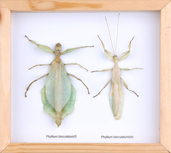 The Walking Leaf Insect PAIR Phyllium bioculatum by www.BugsDirect ...