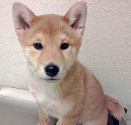 Tomi The Shiba Inu Dale Holman Maine Puppies Cute Puppy Names Puppy Pictures