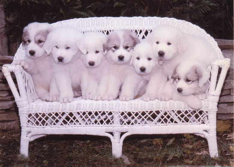 Darlington Great Pyrenees Sam Orion Delilah Lily Nova