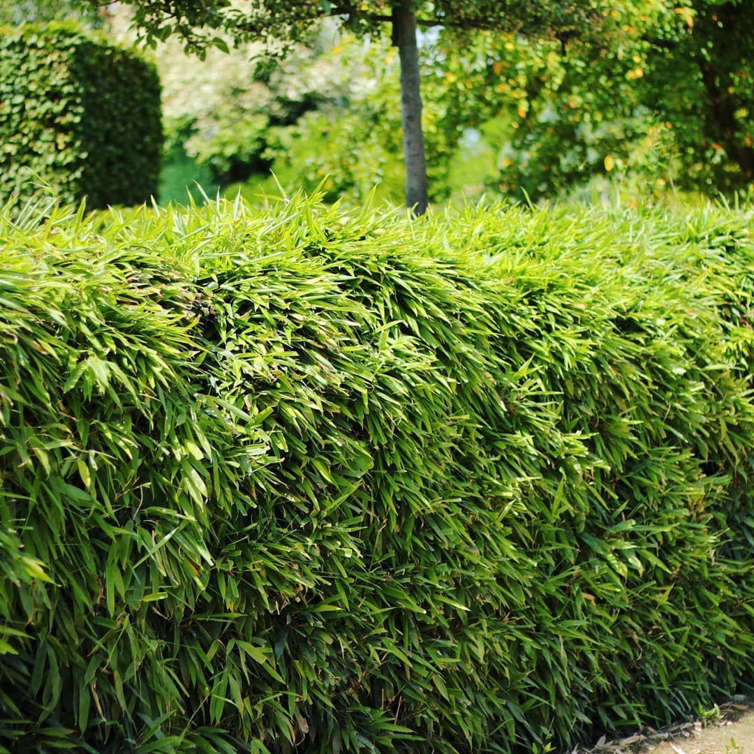 Bambushecke Bambus Fargesia Phyllostachys Heckenpflanzen