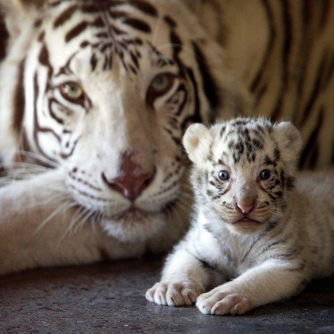 "♥️♥️♥️NBC News on Instagram ""One of three newborn white"