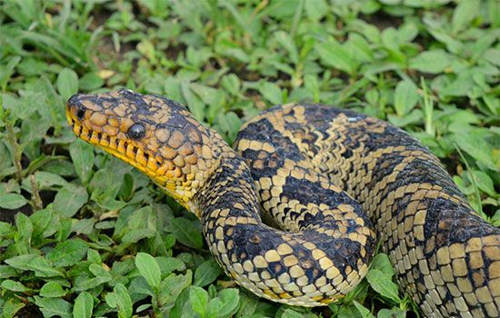World's Rarest Boa Snake Seen for first Time in 64 Years