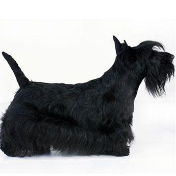 Dog Breeds Dog Breeds Scottish Terrier Pets Dogs Breeds