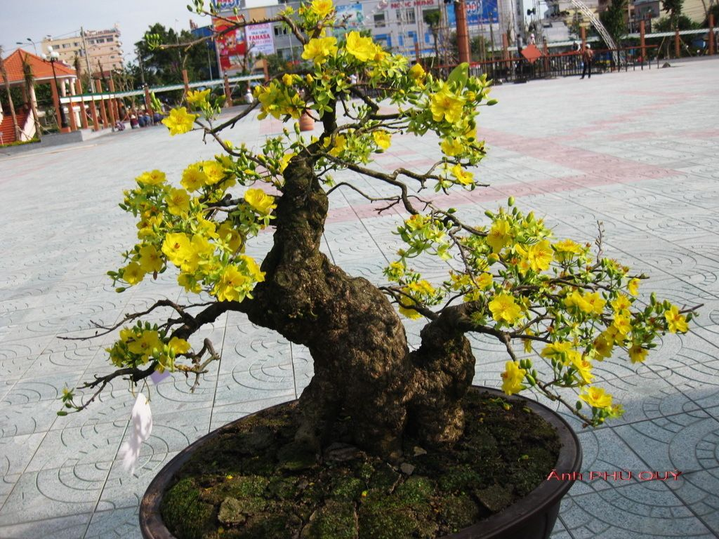 cây hoa mai bonsai - Google Search | BONSAI | Pinterest ...