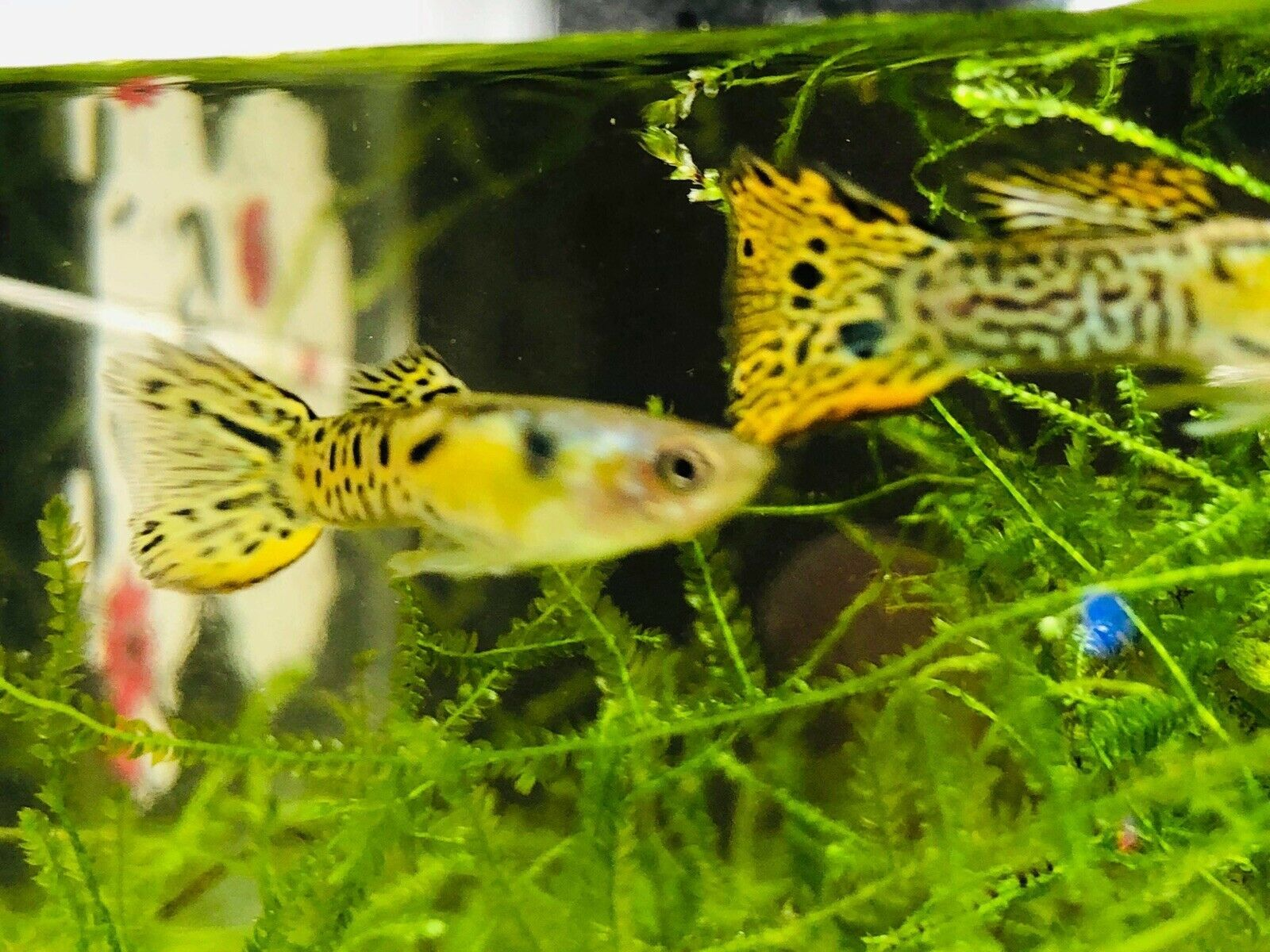 PAIR PLATINUM GREEN SNAKE SKIN GUPPY. FREE Expedited