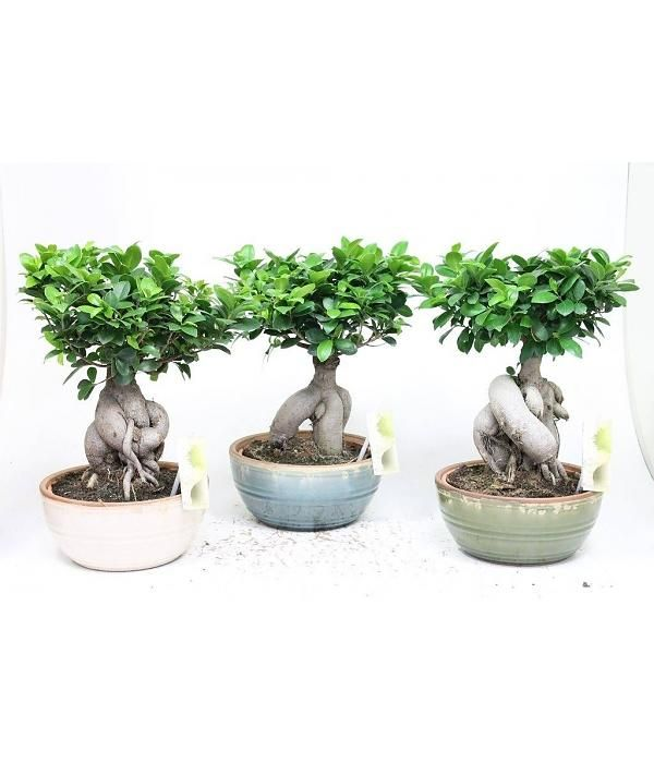 bonsai ficus ginseng in retro keramiek house plants pinterest bonsai ficus and bonsai ficus. Black Bedroom Furniture Sets. Home Design Ideas