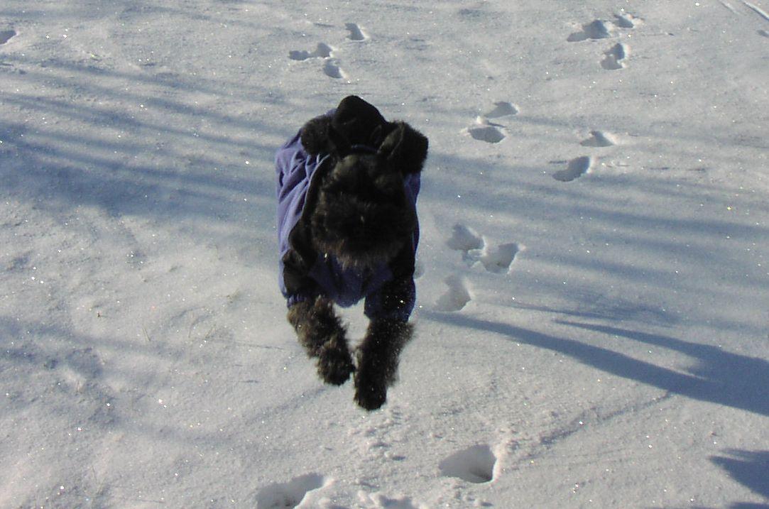 Miniature Schnauzer running in snow.