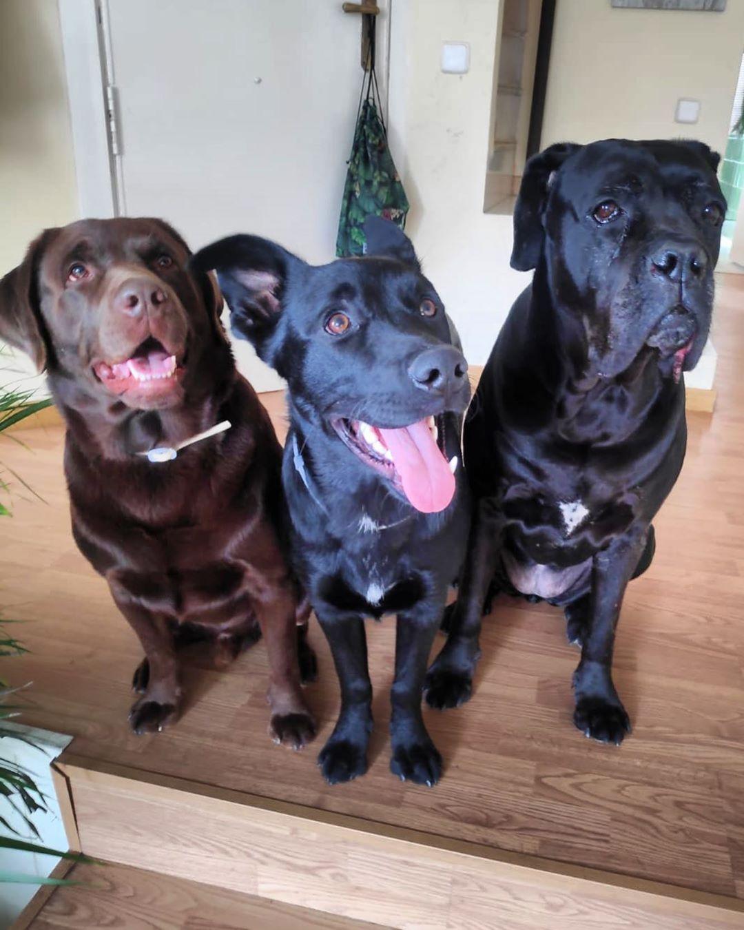 Los Colegas Del Barrio Friends Luckyfriends Colegas Mosqueperros Lab Labrador Chocolatelab Labradorretriever Laboftheday Pastorbelga Canecors