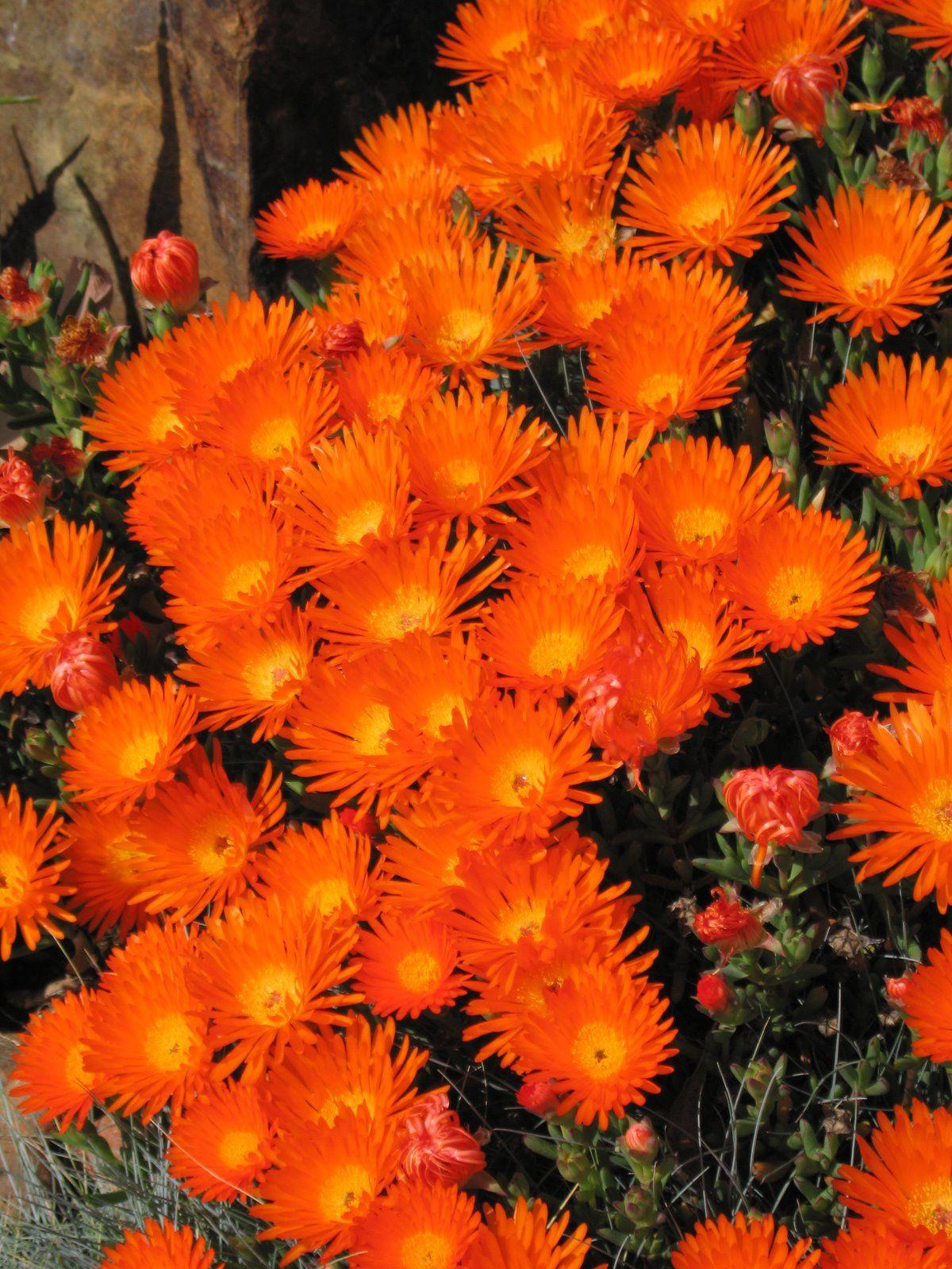 Love This Bright Orange And Yellow Ice Plant Gardening 400 x 300