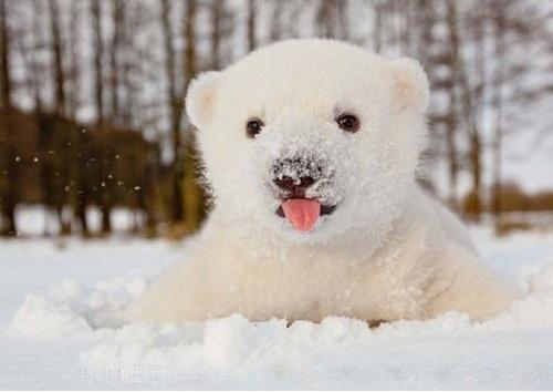 Baby Polar Bear Plays In The Snow For The First Time Amazing World Baby Polar Bears Cute Polar Bear Bear Stuffed Animal