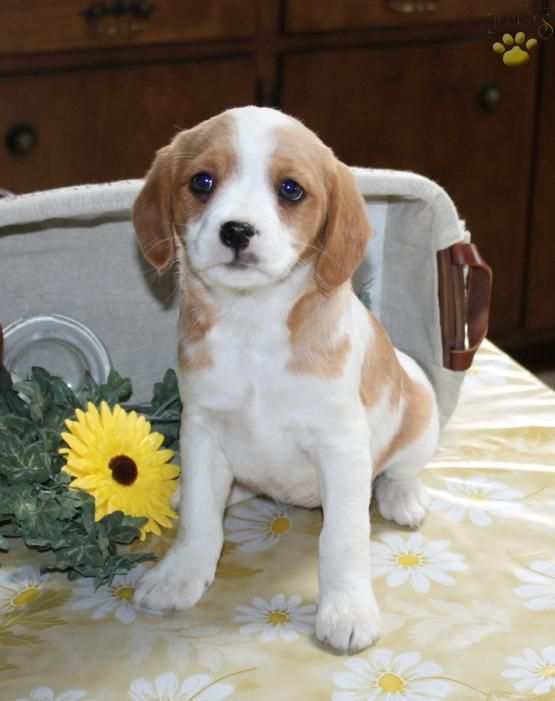 Felicia - Cavalier/Jack Russel Mix Puppy for Sale in Narvon, PA | Lancaster Puppies