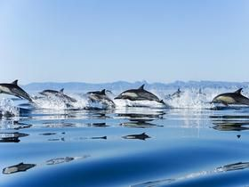 Proshots - Pod of Dolphins, Gulf of California, Mexico - Professional Photos