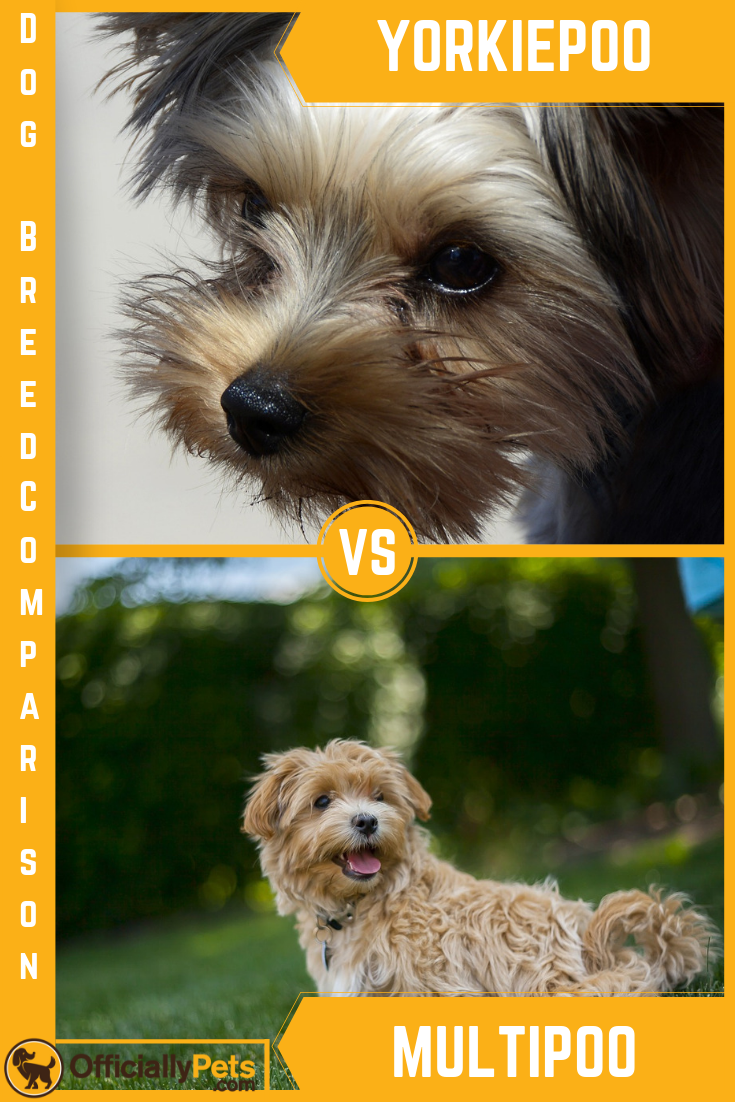 Yorkie Poo Vs Maltipoo A Detailed Comparison Of Both Dog Breeds