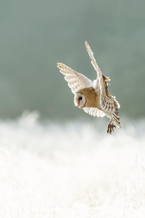 brazenbvll:  Barn Owl→ (©)
