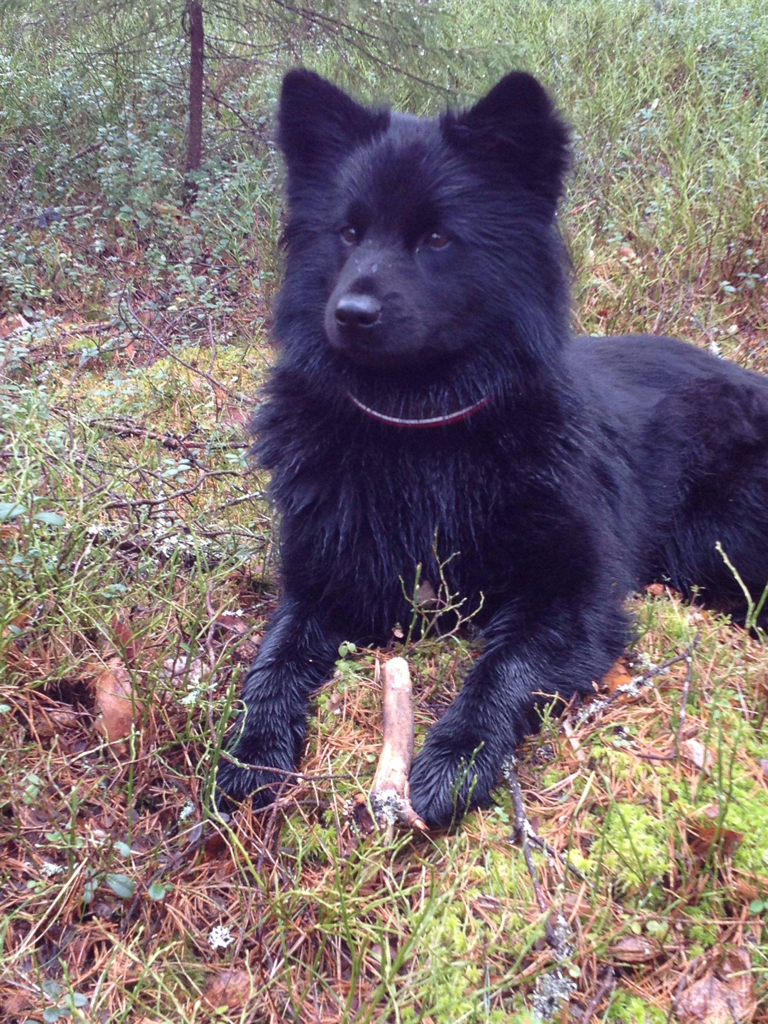 Svensk Lapphund Swedish Lapphund Dog Breeds Large Dog Breeds Spitz Type Dogs