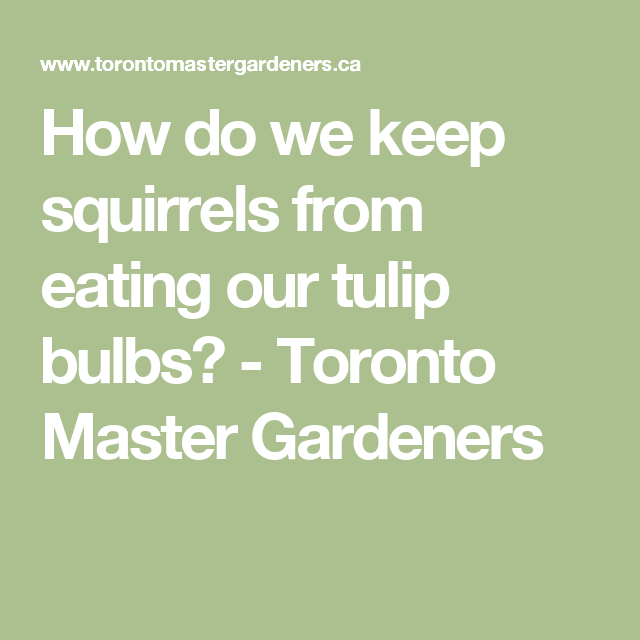 How do we keep squirrels from eating our tulip bulbs? - Toronto Master Gardeners