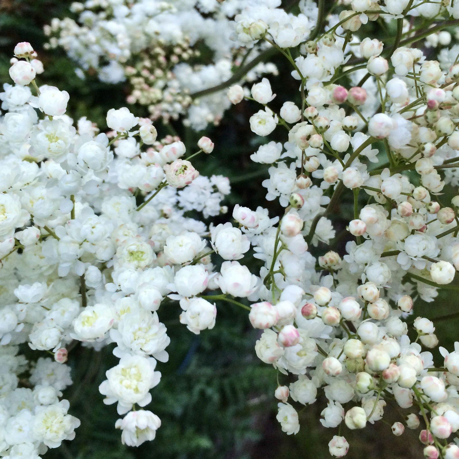 Brudbrod Blommor Tradgard
