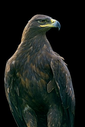 Golden Eagle Looking At The Side Beautiful Birds Animals Beautiful Eagle