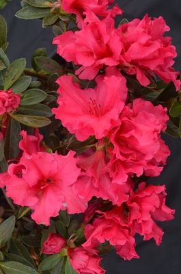 Azalea Red Wing In 2020 Azaleas Flowers Evergreen