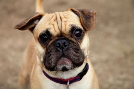 Half Pug Half French Bull Dog Frug French Bulldog Pug Mix
