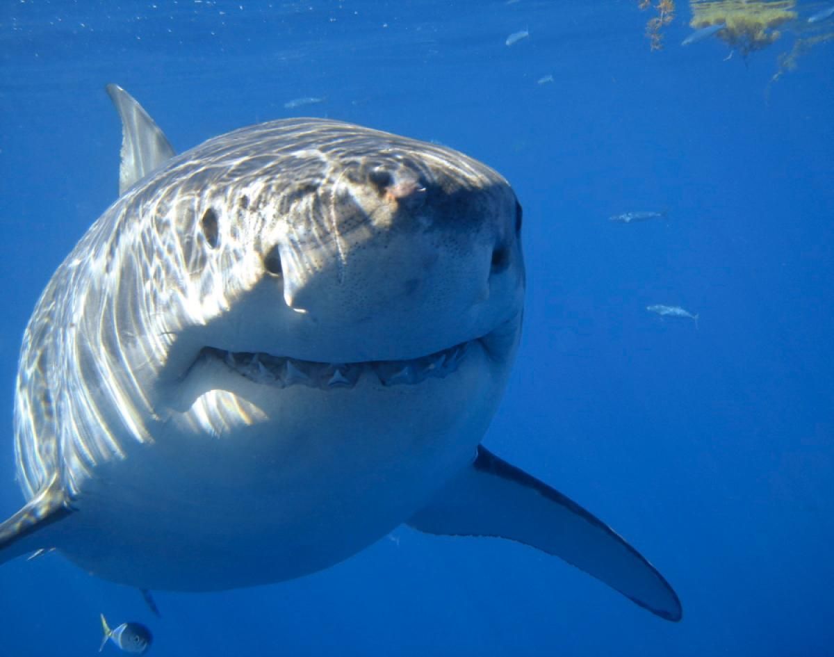 smiling great white shark photos adorable smiling animals