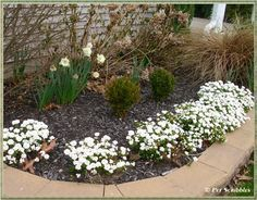 Candytuft: a stunning evergreen perennial with white flowers in early Spring