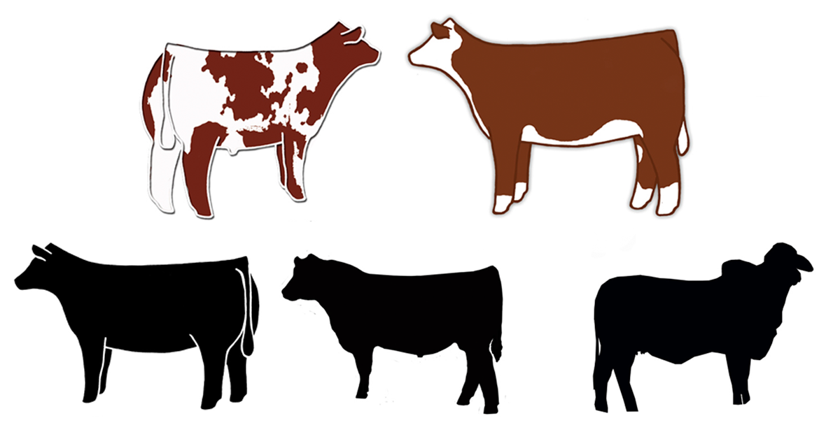 Digital File Show Cattle Livestock Clipart Graphic Hereford Bull Clipart