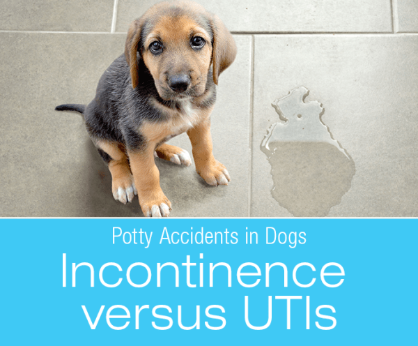 Urinary Accidents In Dogs Incontinence Versus Utis Dog Incontinence Bladder Infection In Dogs Dog Uti