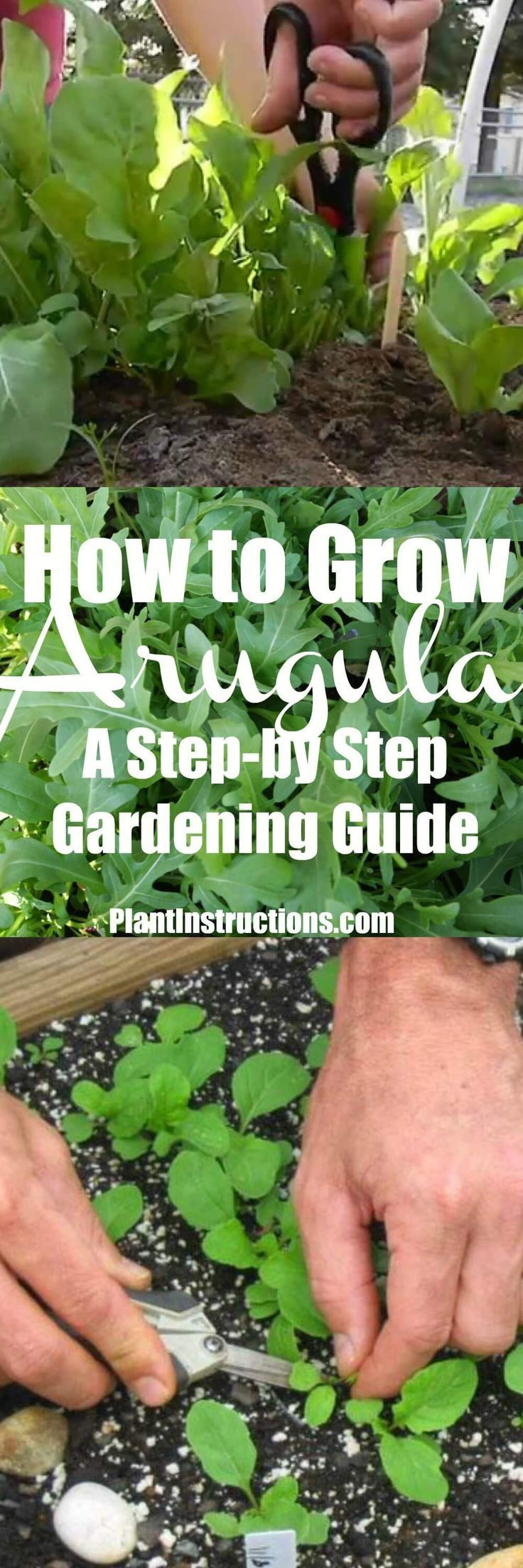 How to grow arugula in pots or in your garden planting
