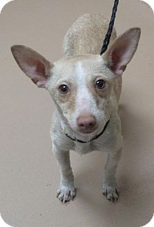 Reno Nv Chihuahua Meet Pongo A Puppy For Adoption Kitten