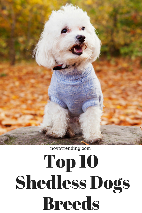 Top 10 Dog Breeds That Don T Shed Cute Dogs That Dont Shed Dog