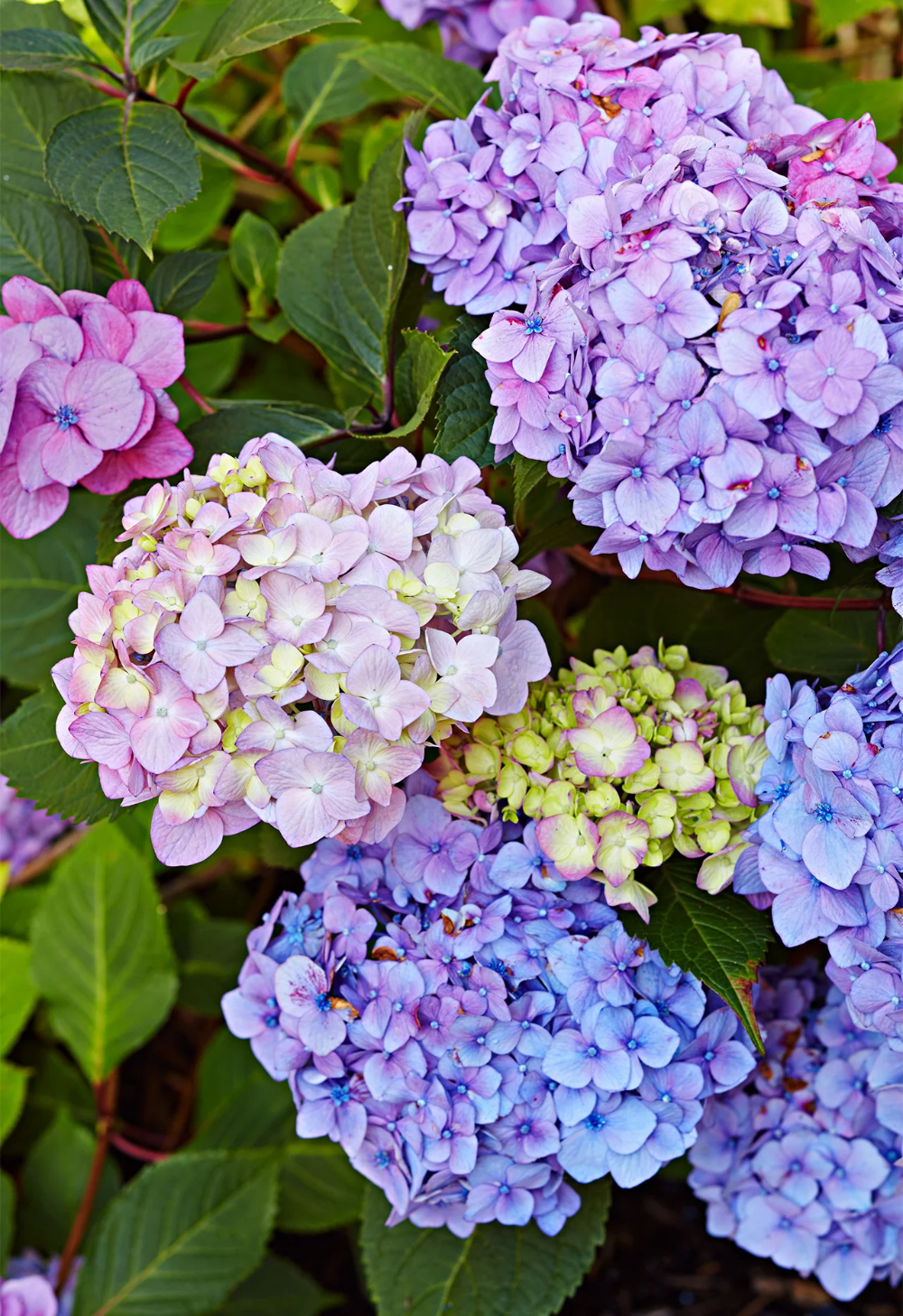 How To Choose And Care For The Most Colorful Hydrangeas Hydrangea Care Hydrangea Flower Hydrangea Colors