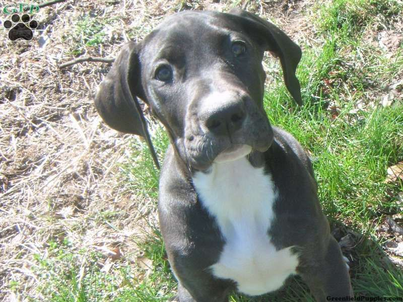 Keeva great dane puppy for sale in new jersey great