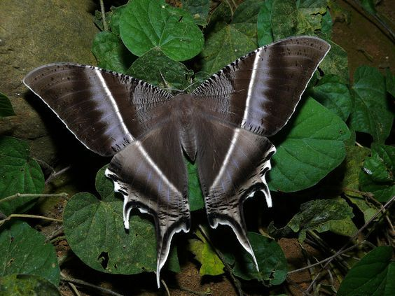 Tropical Swallowtail Moth Lyssa Zampa Schone Schmetterlinge Schmetterling Insekten