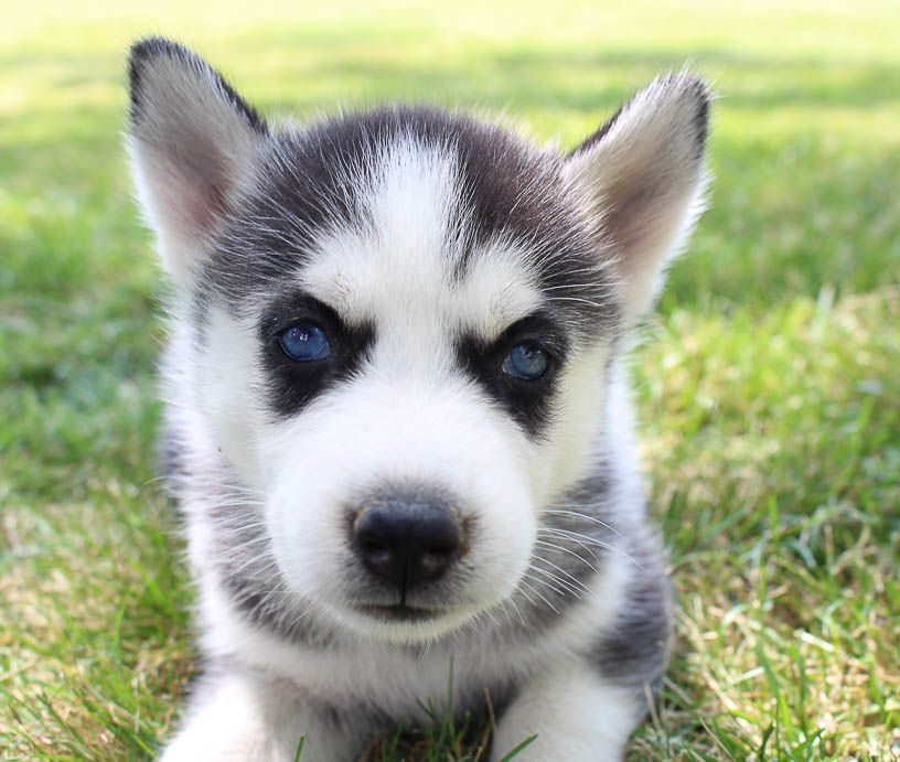 Siberian Husky Puppy For Sale In Grabill In Siberianhusky