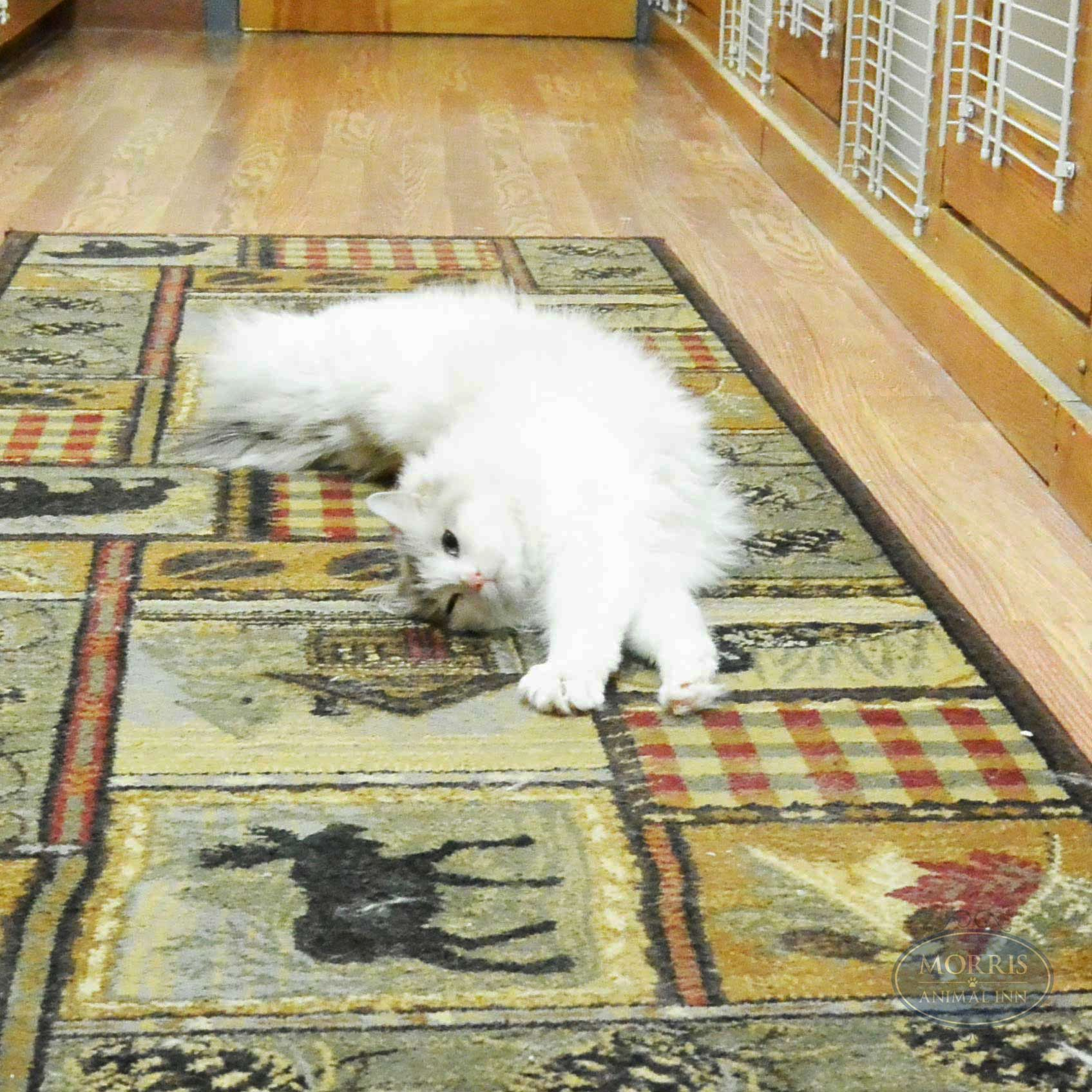 Seven Year Old Ragdoll Misha Gets A Good Stretch In While Exploring The Cattery Morrisanimalinn Cats Welovecats Ragdoll Dog Daycare Pet Boarding Pet Hotel
