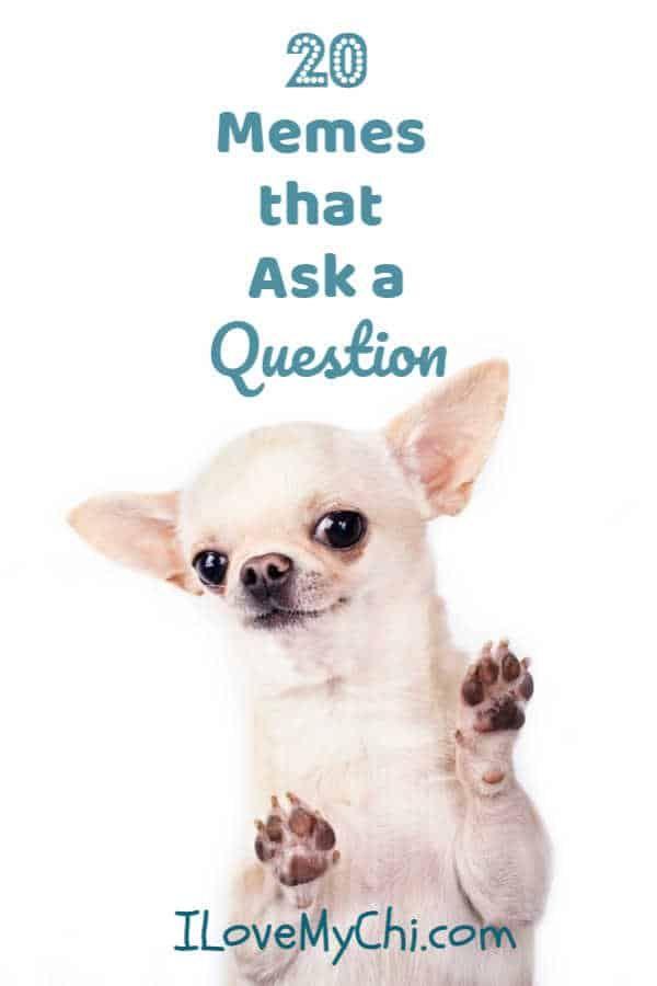 20 Chihuahua Memes That Ask A Question Memes Dog Memes Chihuahua