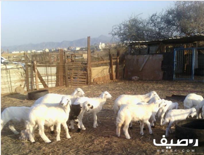 ضان مقاني Animals Horses Goats