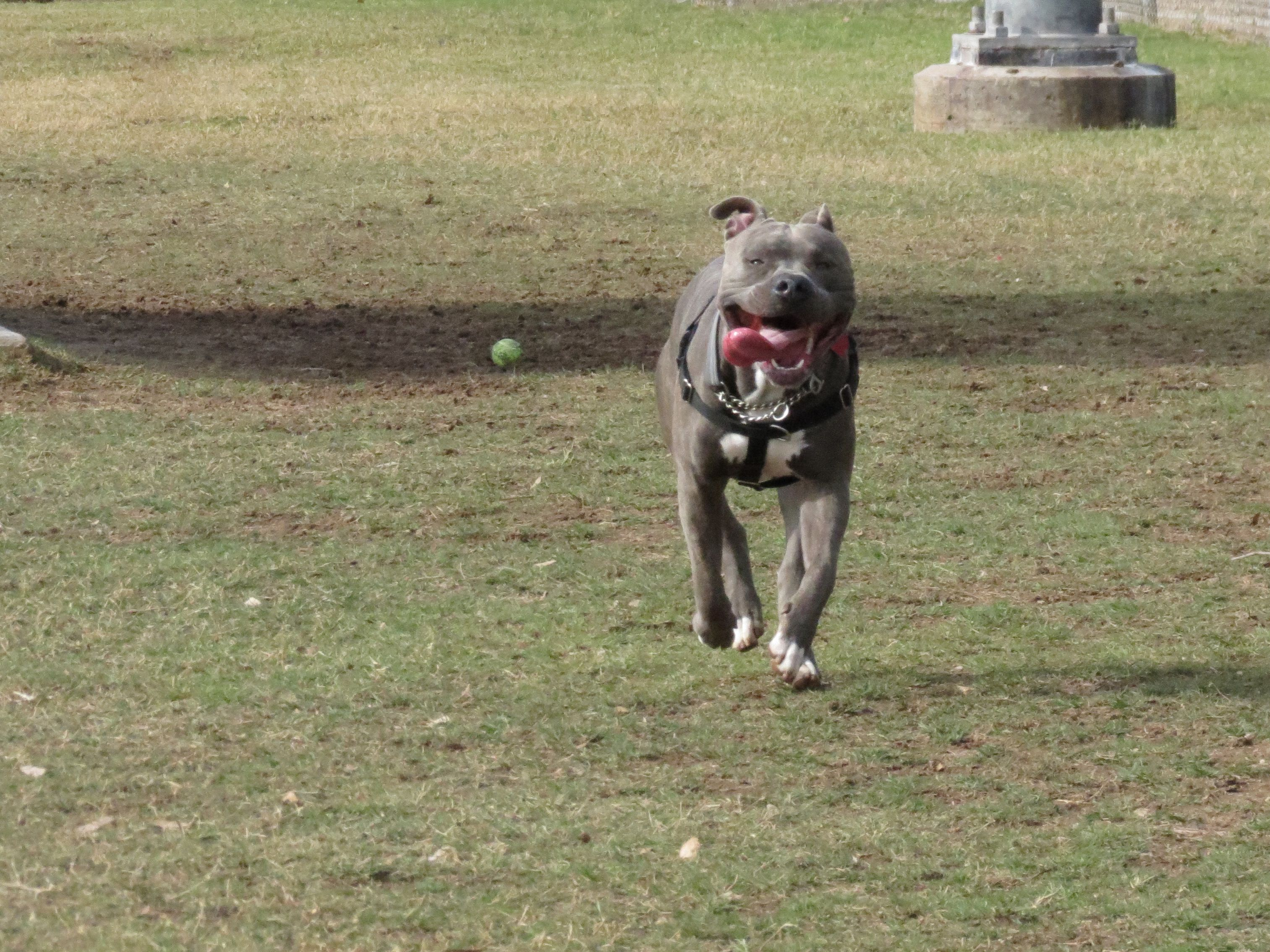 Playing At The Dog Park Knight Sabre The Thunderfoot 1 Year